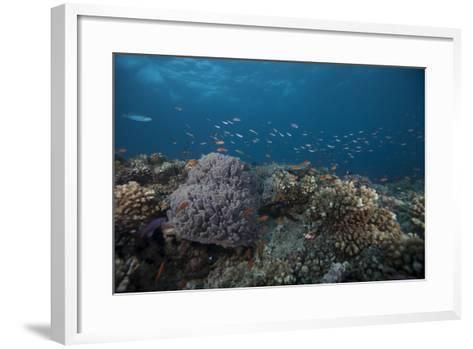 Schooling Anthias Fish and Healthy Corals of Beqa Lagoon, Fiji-Stocktrek Images-Framed Art Print