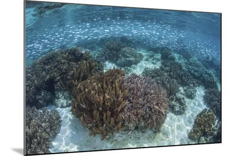 A School of Silversides Swim Above a Shallow Reef in Raja Ampat-Stocktrek Images-Mounted Photographic Print