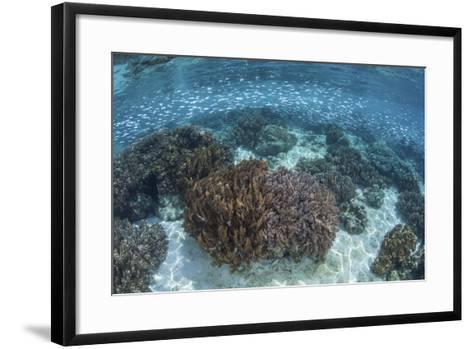 A School of Silversides Swim Above a Shallow Reef in Raja Ampat-Stocktrek Images-Framed Art Print