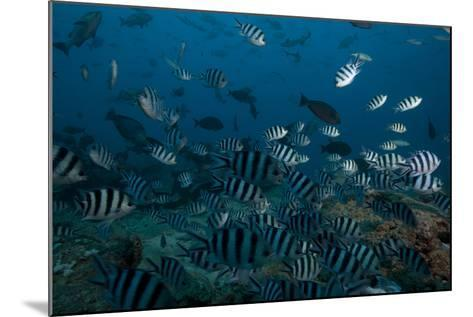 School of Sergeant Major Fish at the Bistro Dive Site in Fiji-Stocktrek Images-Mounted Photographic Print