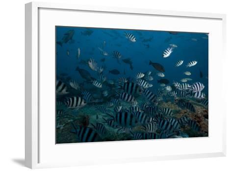 School of Sergeant Major Fish at the Bistro Dive Site in Fiji-Stocktrek Images-Framed Art Print