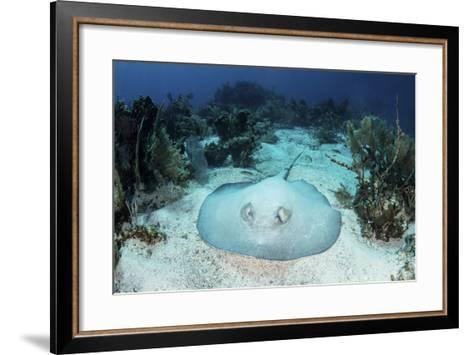A Roughtail Stingray Rests on the Seafloor Near Turneffe Atoll-Stocktrek Images-Framed Art Print