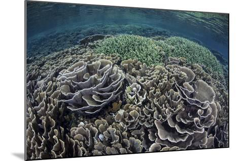 Foliose Corals Grow in Komodo National Park, Indonesia-Stocktrek Images-Mounted Photographic Print