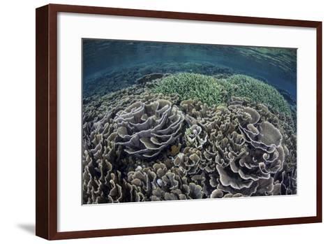 Foliose Corals Grow in Komodo National Park, Indonesia-Stocktrek Images-Framed Art Print