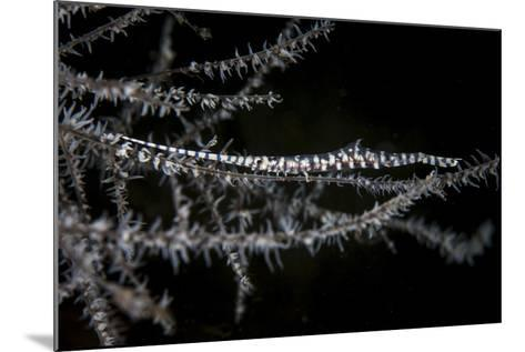 A Banded Tozeuma Shrimp Camouflages Itself in Black Coral-Stocktrek Images-Mounted Photographic Print