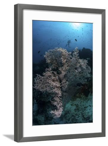 A Huge Gorgonian Grows on a Reef in Komodo National Park, Indonesia-Stocktrek Images-Framed Art Print