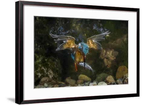 Kingfisher Hunting a Fish Underwater-ClickAlps-Framed Art Print