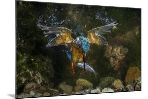 Kingfisher Hunting a Fish Underwater-ClickAlps-Mounted Photographic Print