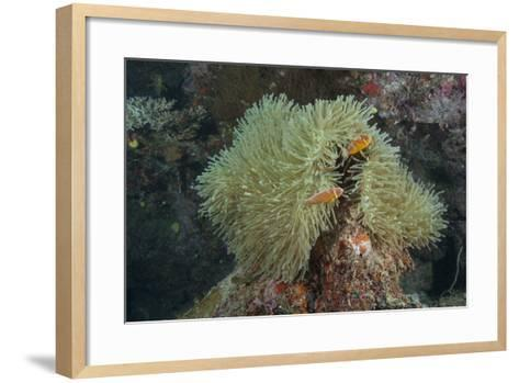 Pink Anenomefish on its Host Anenome, Fiji-Stocktrek Images-Framed Art Print