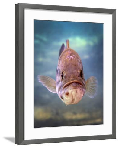A Largemouth Bass Faces Off with the Underwater Photographer-Stocktrek Images-Framed Art Print