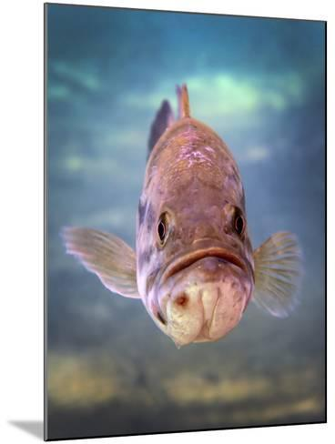 A Largemouth Bass Faces Off with the Underwater Photographer-Stocktrek Images-Mounted Photographic Print