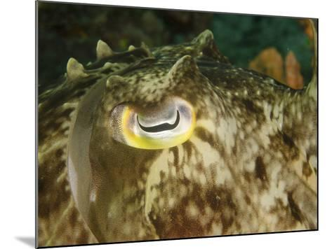 Close-Up of a Cuttlefish Eye, Manado, Indonesia-Stocktrek Images-Mounted Photographic Print