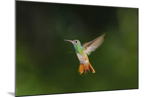 Buff-Bellied Hummingbird in Flight-Larry Ditto-Mounted Photographic Print