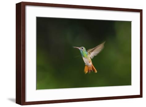 Buff-Bellied Hummingbird in Flight-Larry Ditto-Framed Art Print