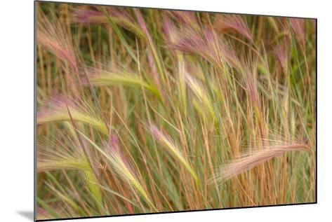 Fox-Tail Barley, Hordeum Jubatum, Roadside, Routt National Forest, Colorado, USA-Maresa Pryor-Mounted Photographic Print