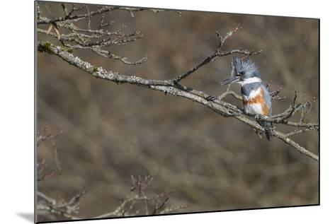 Washington, Female Belted Kingfisher on a Perch-Gary Luhm-Mounted Photographic Print