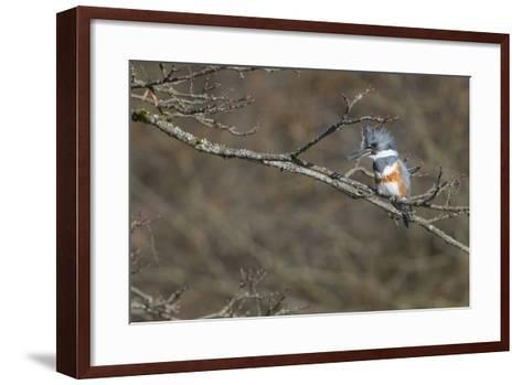 Washington, Female Belted Kingfisher on a Perch-Gary Luhm-Framed Art Print