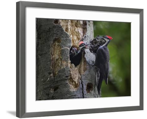 Washington, Female Pileated Woodpecker Aside Nest in Snag with Two Begging Chicks-Gary Luhm-Framed Art Print