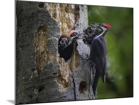 Washington, Female Pileated Woodpecker Aside Nest in Snag with Two Begging Chicks-Gary Luhm-Mounted Photographic Print