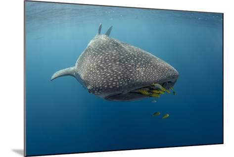 Whale Shark and Golden Trevally, Cenderawasih Bay, West Papua, Indonesia-Pete Oxford-Mounted Photographic Print