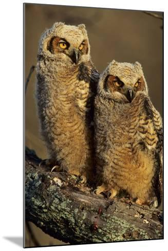 Great Horned Owls Approx. 6 Weeks Old, Illinois-Richard and Susan Day-Mounted Photographic Print