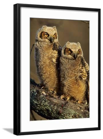 Great Horned Owls Approx. 6 Weeks Old, Illinois-Richard and Susan Day-Framed Art Print