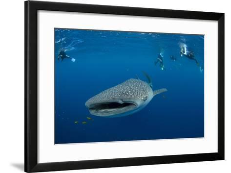 Whale Shark and People. Cenderawasih Bay, West Papua, Indonesia-Pete Oxford-Framed Art Print