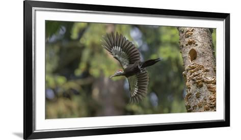 Washington, Female Pileated Woodpecker Flies from Nest in Alder Snag-Gary Luhm-Framed Art Print