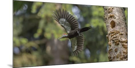 Washington, Female Pileated Woodpecker Flies from Nest in Alder Snag-Gary Luhm-Mounted Photographic Print