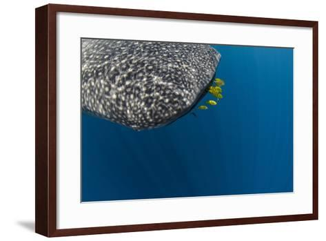 Whale Shark and Golden Trevally, Cenderawasih Bay, West Papua, Indonesia-Pete Oxford-Framed Art Print