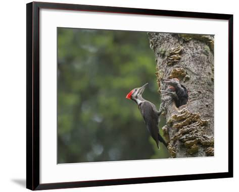 Washington, Female Pileated Woodpecker at Nest in Snag, with Begging Chicks-Gary Luhm-Framed Art Print
