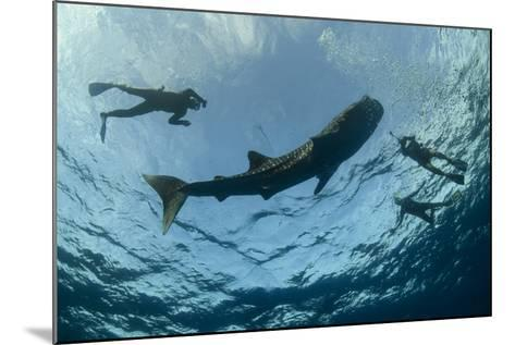 Whale Shark and Tourist. Cenderawasih Bay, West Papua, Indonesia-Pete Oxford-Mounted Photographic Print