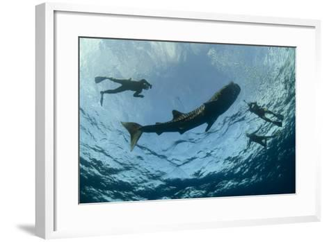 Whale Shark and Tourist. Cenderawasih Bay, West Papua, Indonesia-Pete Oxford-Framed Art Print