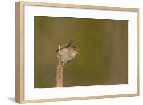 Washington, Male Marsh Wren Sings from a Cattail in a Marsh on Lake Washington-Gary Luhm-Framed Art Print