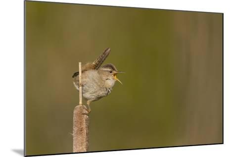 Washington, Male Marsh Wren Sings from a Cattail in a Marsh on Lake Washington-Gary Luhm-Mounted Photographic Print