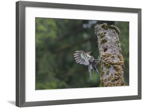 Washington, Male Pileated Woodpecker Flies to Nest in Alder Snag, with Begging Chick-Gary Luhm-Framed Art Print