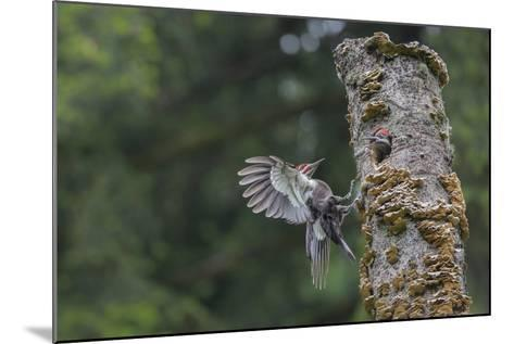 Washington, Male Pileated Woodpecker Flies to Nest in Alder Snag, with Begging Chick-Gary Luhm-Mounted Photographic Print