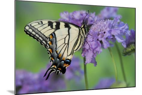 Eastern Tiger Swallowtail Butterfly-Darrell Gulin-Mounted Photographic Print