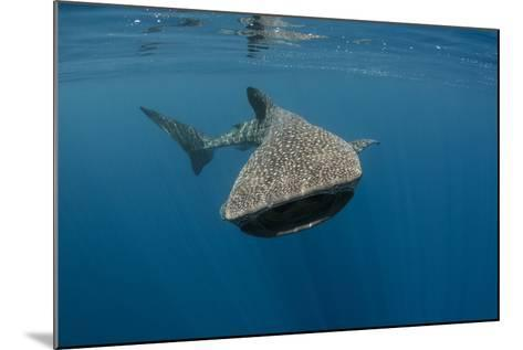 Whale Shark, Cenderawasih Bay, West Papua, Indonesia-Pete Oxford-Mounted Photographic Print