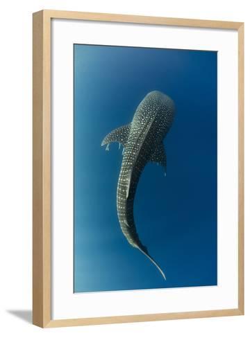 Whale Shark, Cenderawasih Bay, West Papua, Indonesia-Pete Oxford-Framed Art Print