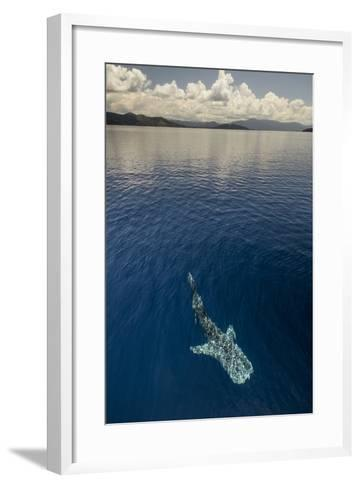 Whale Shark, Cenderawasih Bay, West Papua, Indonesia-Pete Oxford-Framed Art Print