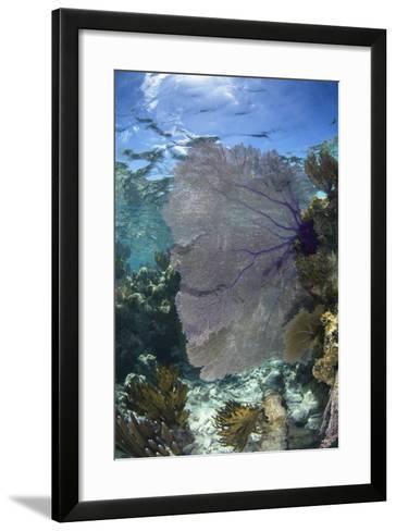 Venus Sea Fan, Lighthouse Reef, Atoll, Belize-Pete Oxford-Framed Art Print