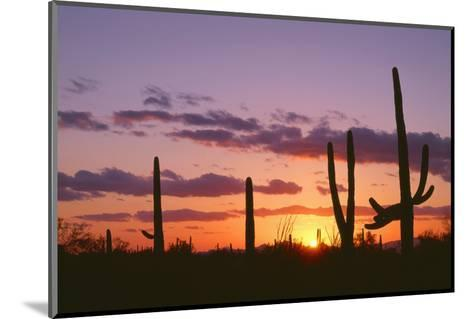 Arizona, Saguaro National Park, Saguaro Cacti are Silhouetted at Sunset in the Tucson Mountains-John Barger-Mounted Photographic Print