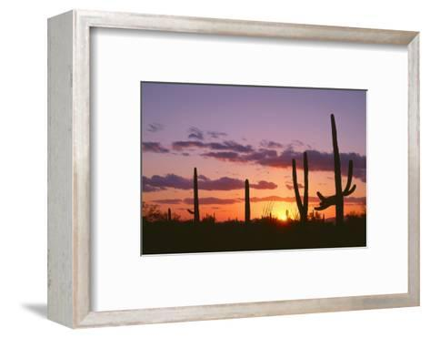 Arizona, Saguaro National Park, Saguaro Cacti are Silhouetted at Sunset in the Tucson Mountains-John Barger-Framed Art Print