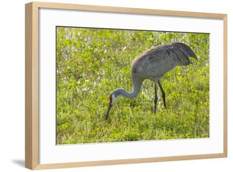 Wild Sandhill Crane Feeding, Florida-Maresa Pryor-Framed Art Print