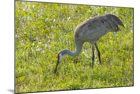 Wild Sandhill Crane Feeding, Florida-Maresa Pryor-Mounted Photographic Print