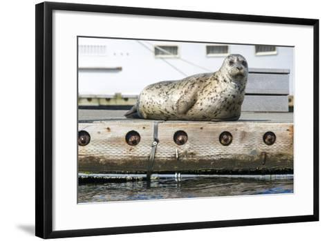 Washington, Poulsbo. Harbor Seal Haul Out on Dock. Acclimated to Boat Traffic-Trish Drury-Framed Art Print