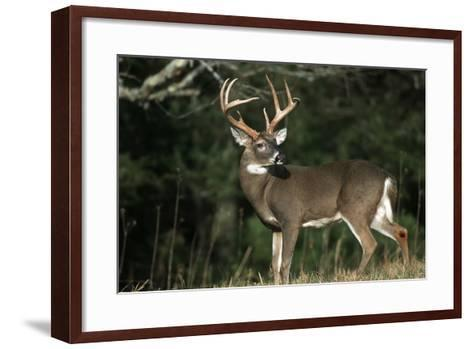 White-Tailed Deer 8-Point Buck Near Woods Great Smoky Mountains National Park Tennessee-Richard and Susan Day-Framed Art Print