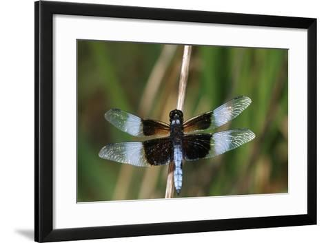 Widow Skimmer Male in Wetland, Marion County, Illinois-Richard and Susan Day-Framed Art Print