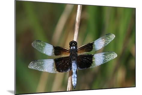 Widow Skimmer Male in Wetland, Marion County, Illinois-Richard and Susan Day-Mounted Photographic Print